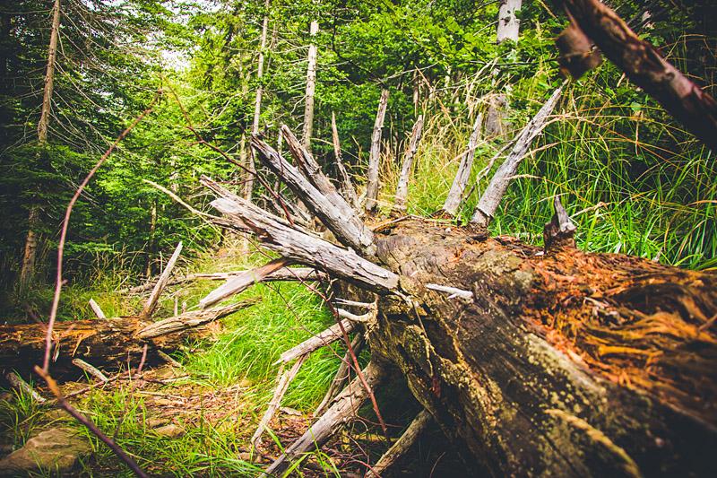 Jedno z wielu powalonych drzew - w drodze na Baranią Górę.